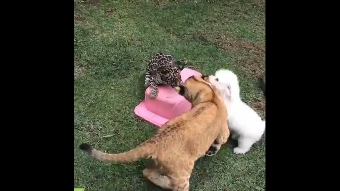 Cachorrinho brincando com dois filhotes felinos