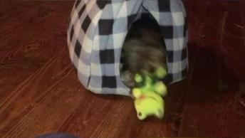 Cachorrinho Brincando Com Seu Bichinho De Pelúcia, Olha Só O Que Ele Apronta!