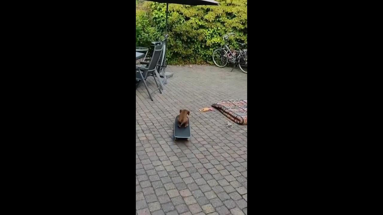 Cachorrinho brincando de andar de skate, veja que fofura mais divertida!