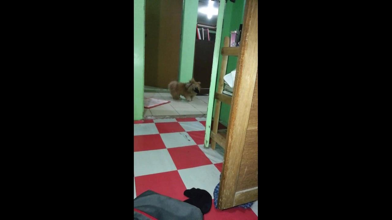 Cachorrinho brincando de pegar a bolinha