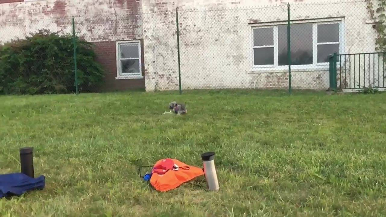 Cachorrinho caçando um drone