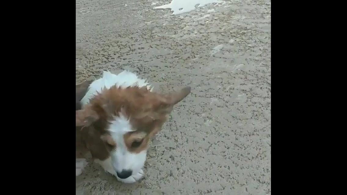 Cachorrinho cai na piscina