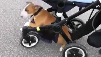 Cachorrinho Cansa De Caminhar E Entra Na Parte De Baixo Do Carrinho Do Bebê!