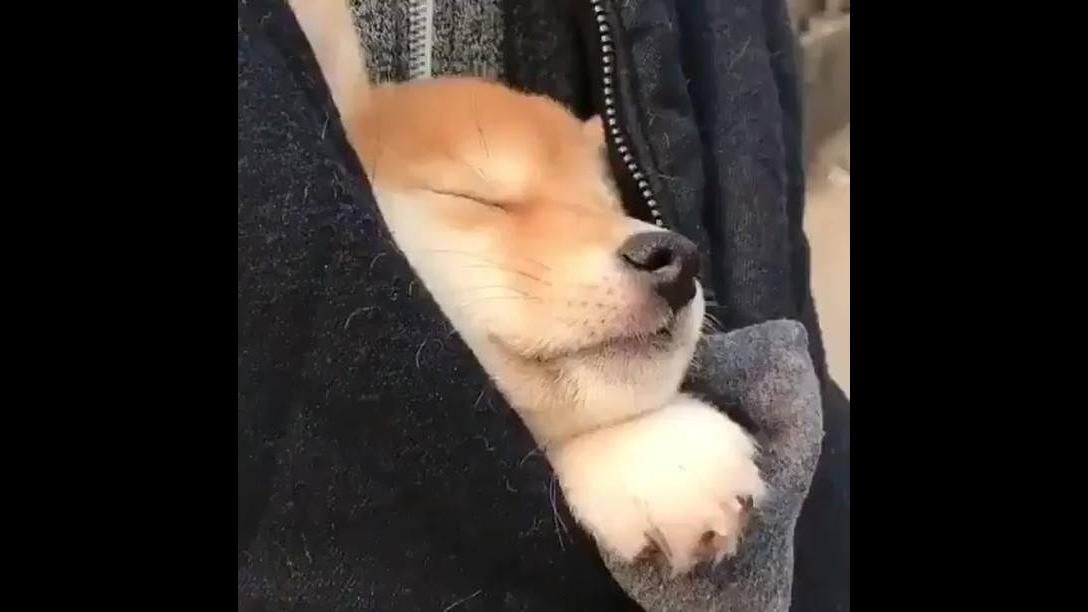 Cachorrinho cochilando dentro da blusa de seu dono