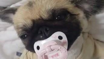 Cachorrinho Com Chupeta Na Boca E Pijama, Esse Não Quer Mais Nada!