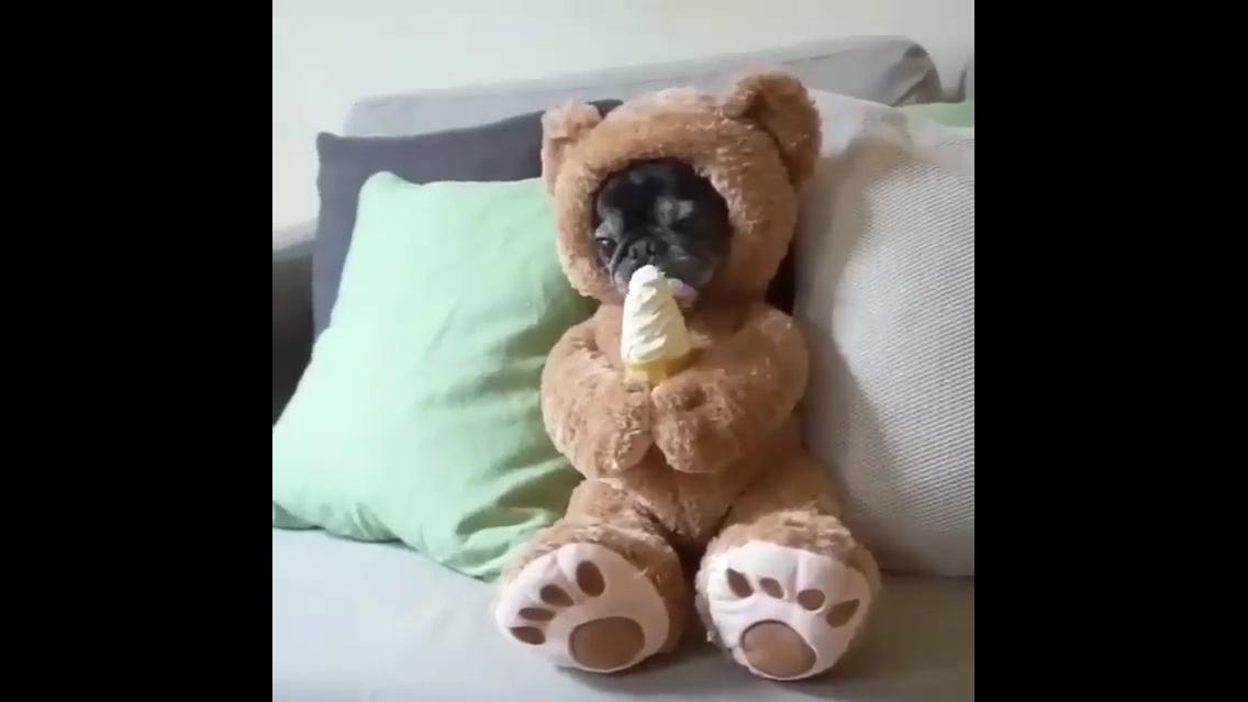 Cachorrinho com fantasia de ursinho tomando sorvete