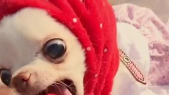 Cachorrinho Comendo Morango, Muito Legal Ver Cães Comendo Frutas!
