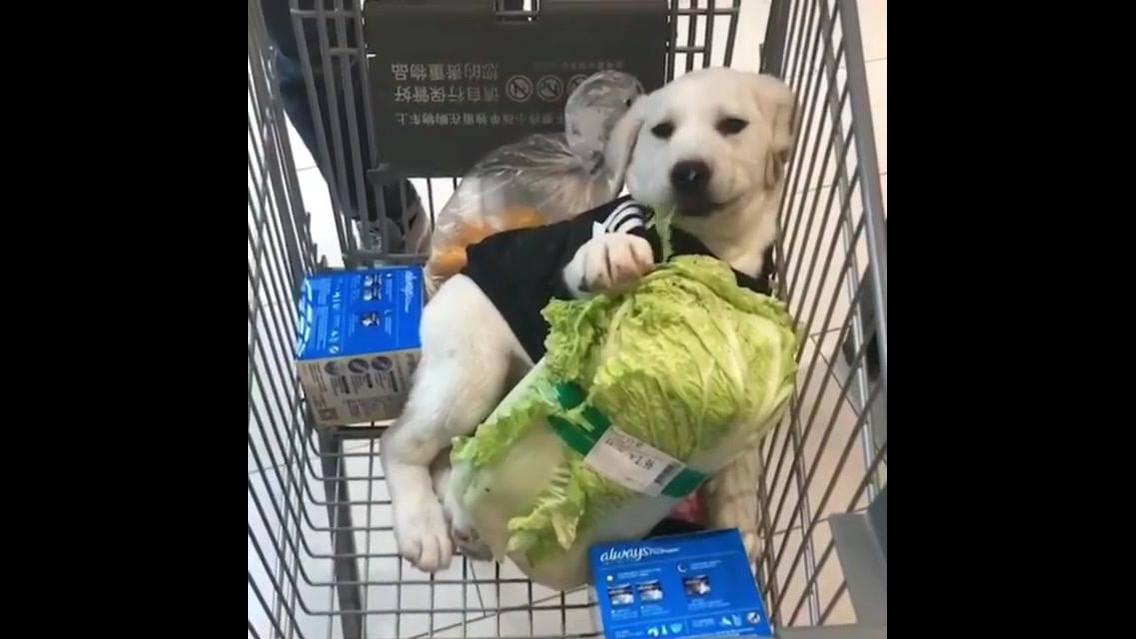Cachorrinho comendo uma acelga enquanto a mamãe faz compra
