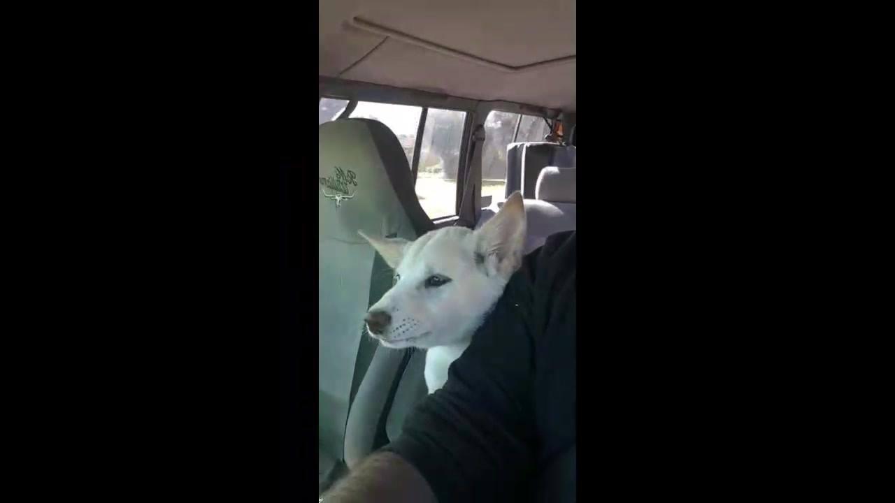 Cachorrinho conversando com papai enquanto anda de carro