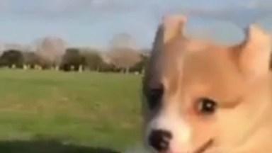 Cachorrinho Correndo Em Câmera Lenta, Uma Fofura De Carinha Alegre!