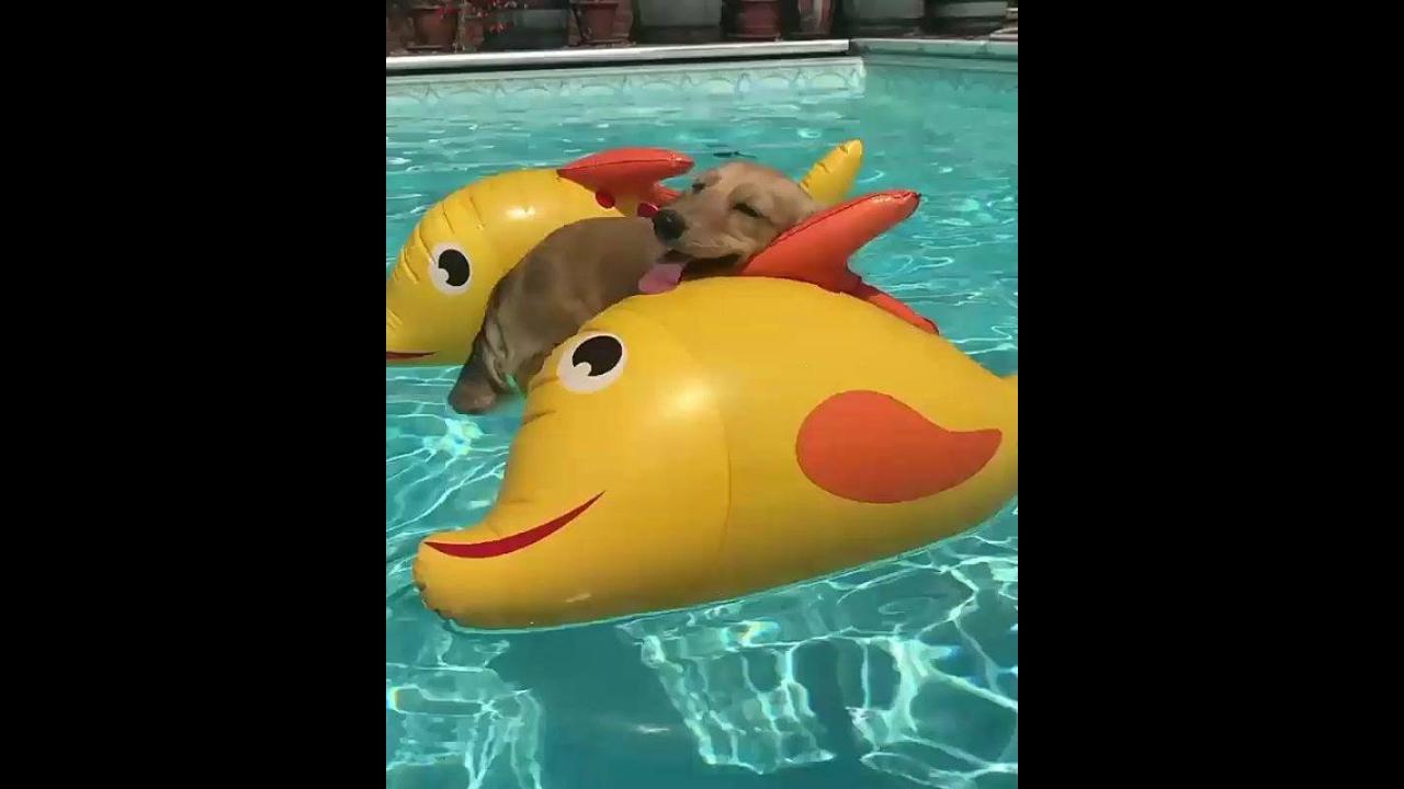 Cachorrinho curtindo piscina