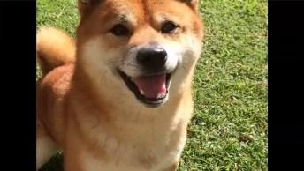 Cachorrinho Da Raça Shiba-Inu Pulando Como Um Coelhinho Na Grama!