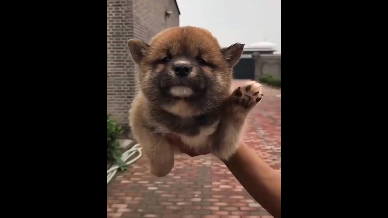 Cachorrinho dançando musiquinha famosa de bebês, veja que fofura!