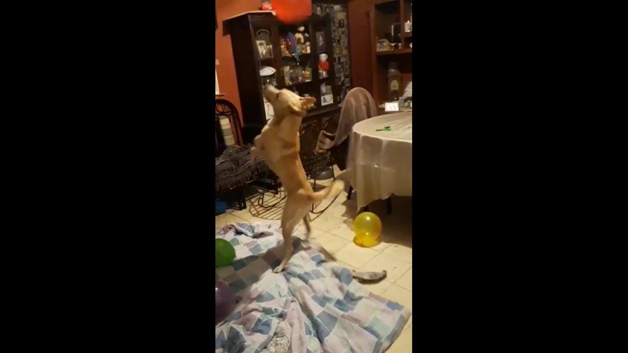 Cachorrinho de estimação adora brincar de balão