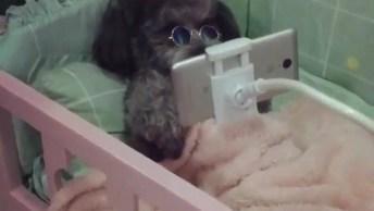 Cachorrinho Deitado Em Sua Caminha Vendo Um Filminho No Celular!