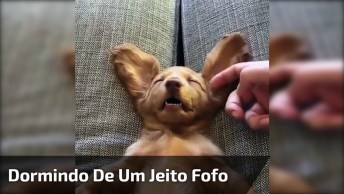 Cachorrinho Dormindo Com Orelhinhas Para Cima, Uma Fofura De Cão!