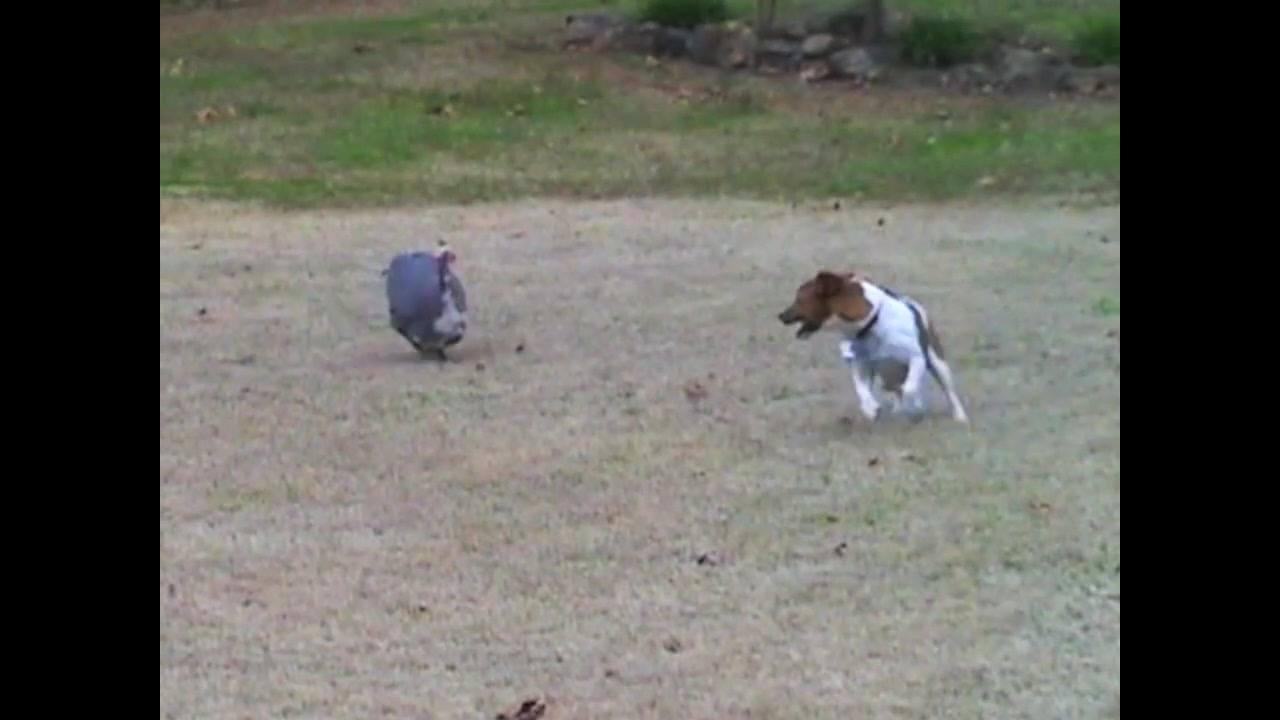 Cachorrinho e peru brincando no quintal, olha só como divertem!!!