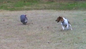 Cachorrinho E Peru Brincando No Quintal, Olha Só Como Divertem!