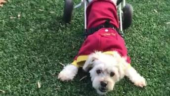 Cachorrinho Em Cadeirinha De Roda Brincando Em Parque, Olha Só Que Lindo!