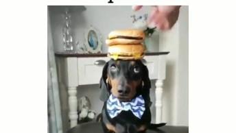 Cachorrinho Equilibrista De Hamburguês Na Cabeça, Olha Só A Carinha Dele!