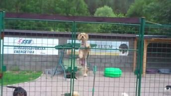 Cachorrinho Escala Portão Para Poder Sair, Olha Só A Habilidade Do Pequeno!
