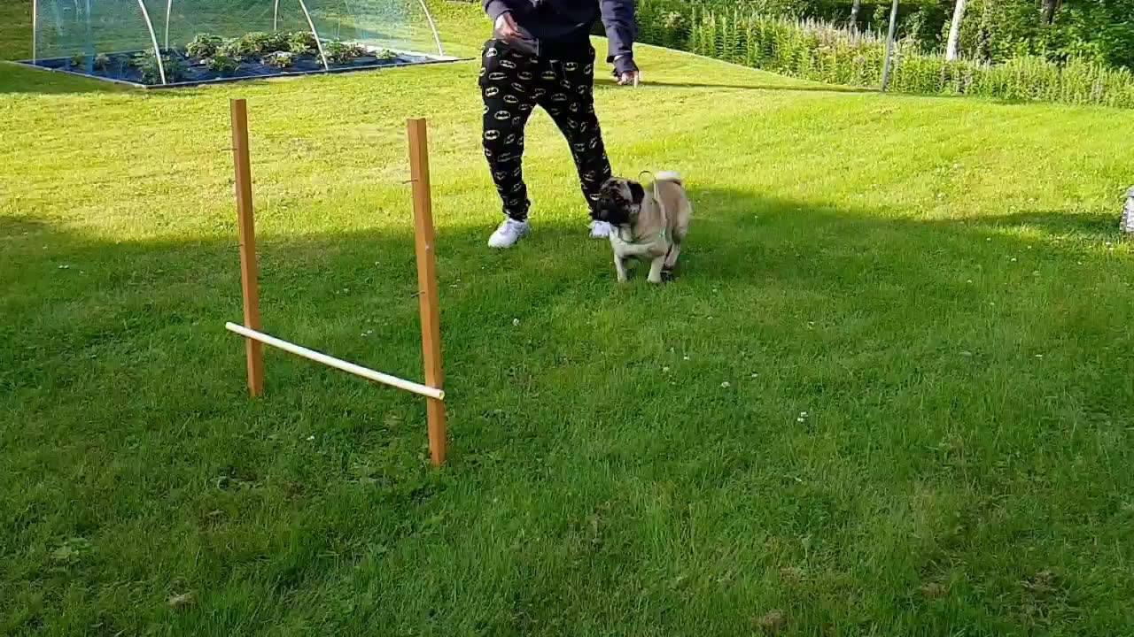 Cachorrinho fazendo corrida de obstaculo