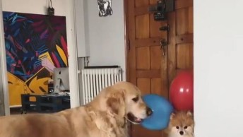 Cachorrinho Flutuando Com Balões, Será Que É Verdade? Confira!