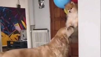 Cachorrinho Flutuando Com Balões, Um Vídeo Divertido Para Compartilhar!