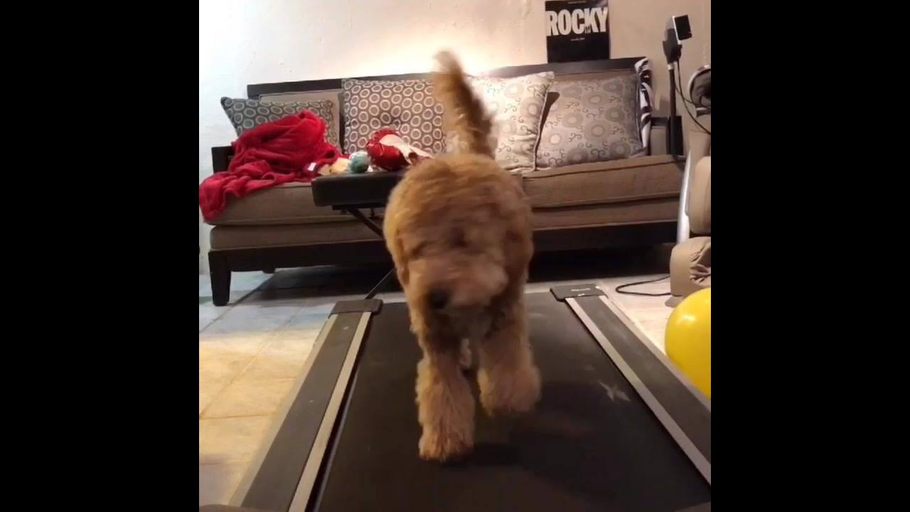 Cachorrinho fofinho caminhando na esteira, ah que fofura!