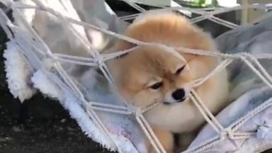Cachorrinho Fofo Balançando Na Rede! Como Os Cães São Amáveis!