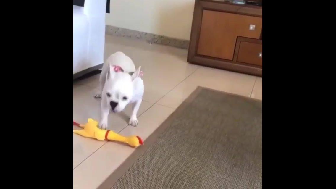Cachorrinho imitando som da galinha de brinquedo
