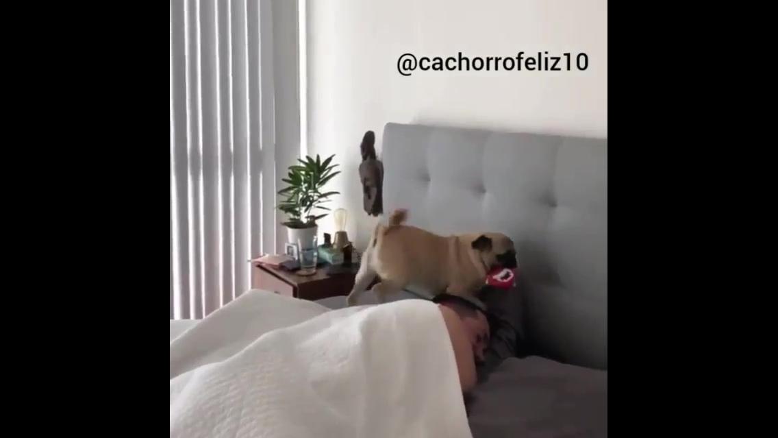 Cachorrinho indo acordar seu humano para brincar