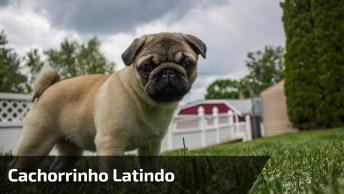 Cachorrinho Latindo, Olha Só Que Belezinha De Criaturinha!