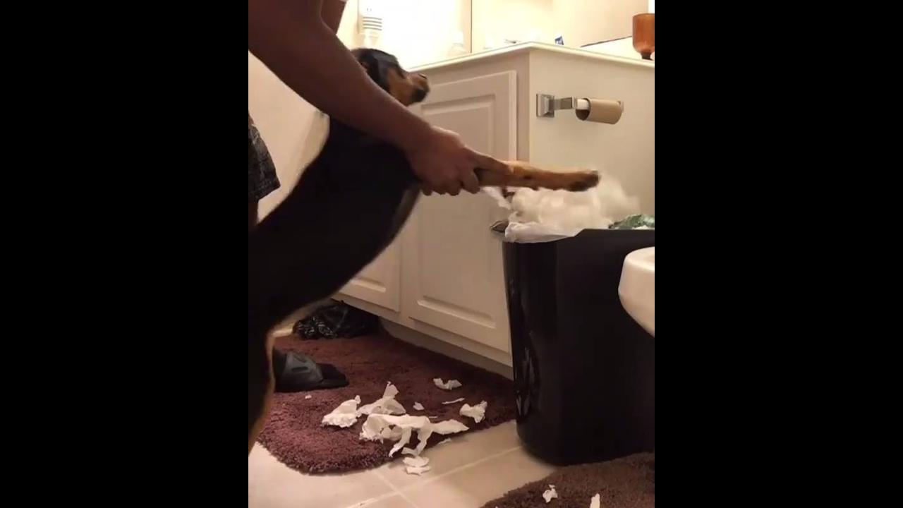 Cachorrinho limpando a bagunça que ele fez, hahaha! Olha só que engraçado!!!