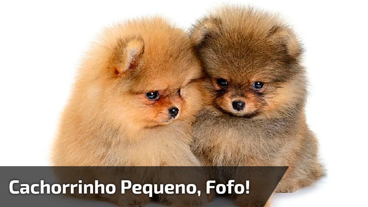 Cachorrinho lindinho da raça Bichon Frisé, uma raça pequenina e lindinha!!!