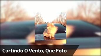 Cachorrinho Lindo Curtindo O Vento, Olha Só A Pose Dele, É Muita Fofura!