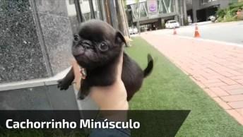 Cachorrinho Minúsculo, Será O Menor Cão Do Mundo? Veja O Vídeo E Descubra!