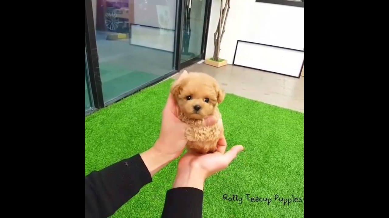 Cachorrinho muito pequenininho, olha só que coisinha mais fofinha!!!