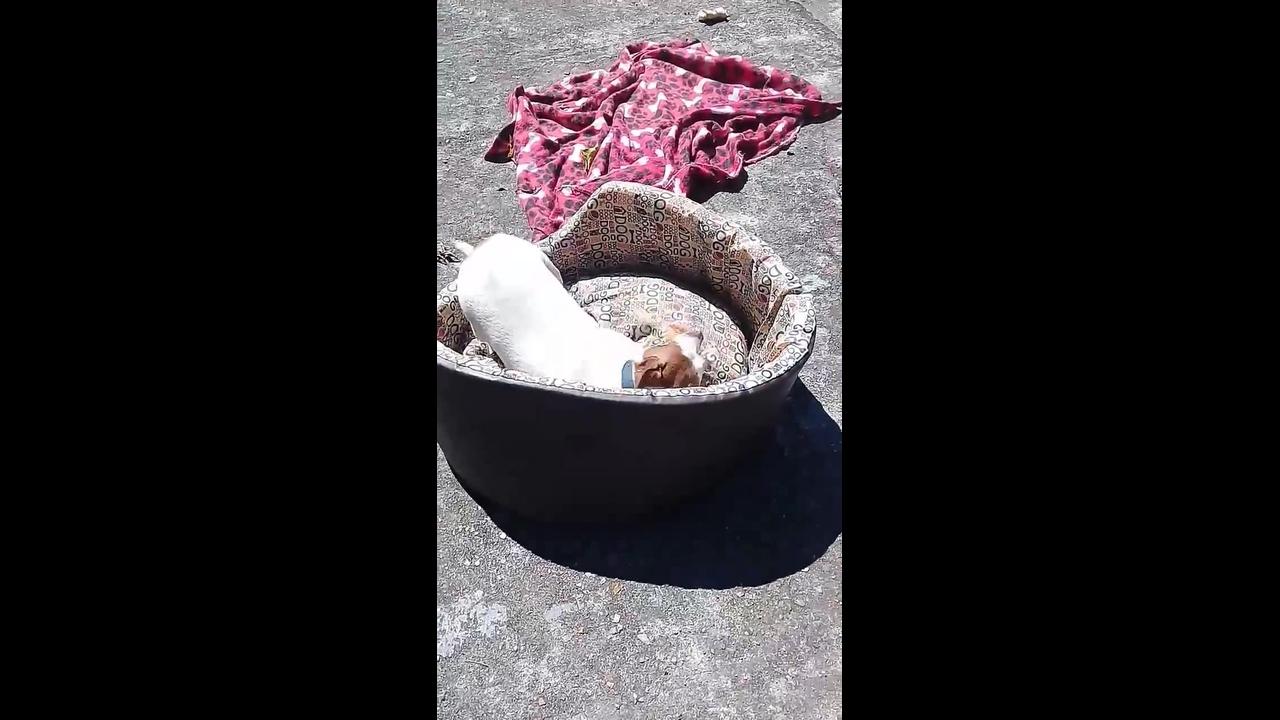 Cachorrinho pega dentadura do vovô e foge