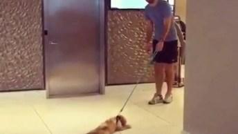Cachorrinho Preguiçoso Não Quer Passear De Jeito Nenhum, Olha Só A Reação Dele!