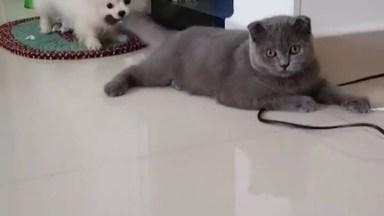 Cachorrinho Puxando Gato Pela Calda, Olha Só A Paciência Do Gatinho!