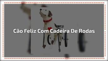 Cachorrinho Que Não Andava Fica Feliz Com Cadeirinha De Rodas Adaptável!