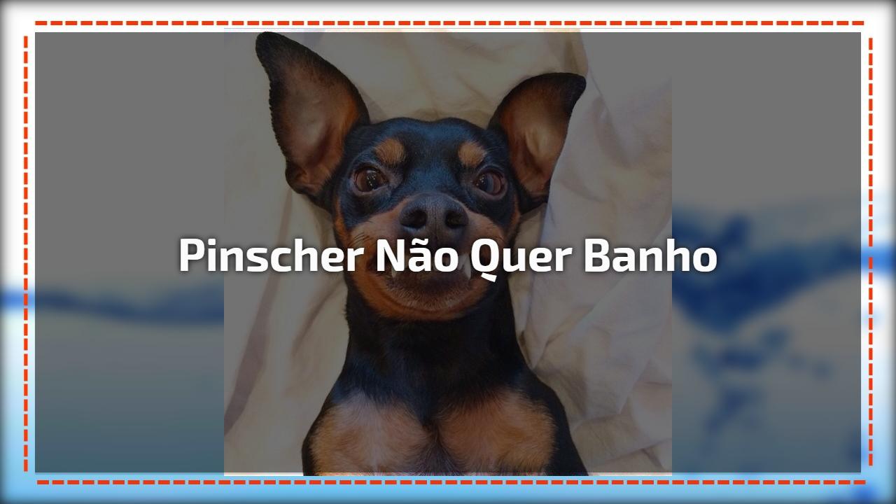 Pinscher não quer banho