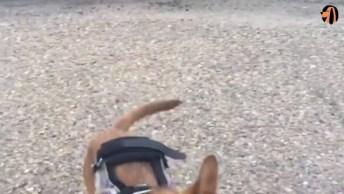 Cachorrinho Que Não Tem As Duas Patas Dianteira, Usa Adaptador Com Rodas!