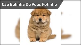 Cachorrinho Que Parece Com Um Mini Urso, Que Coisa Mais Linda Gente!