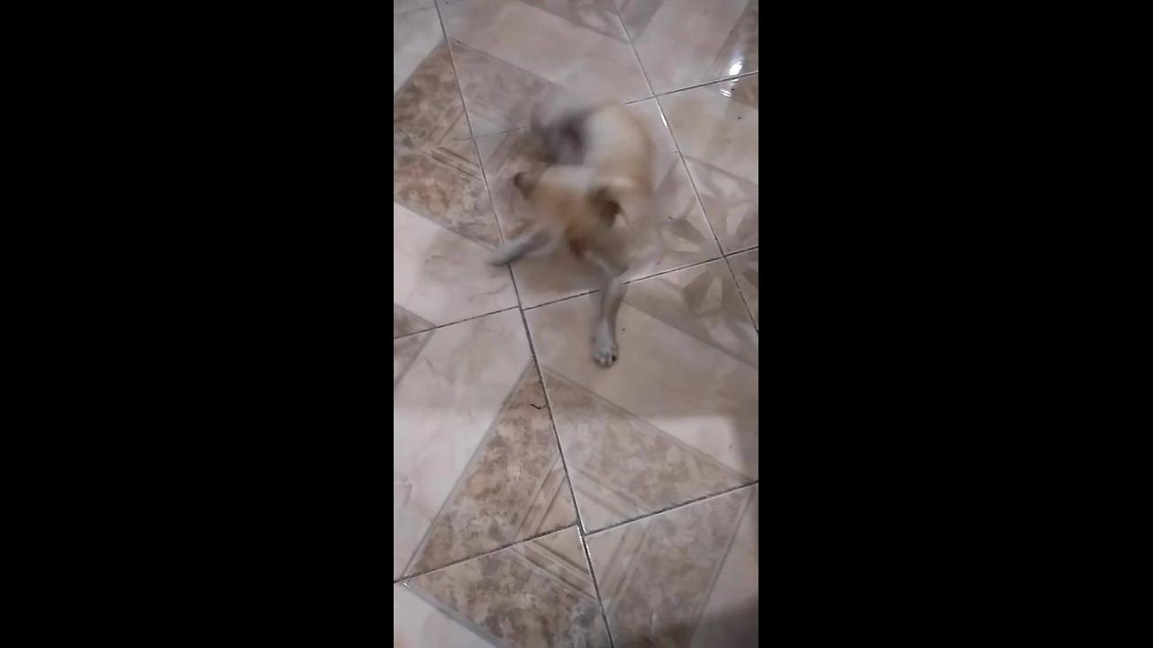 Cachorrinho respondendo aos comandos de sua dona