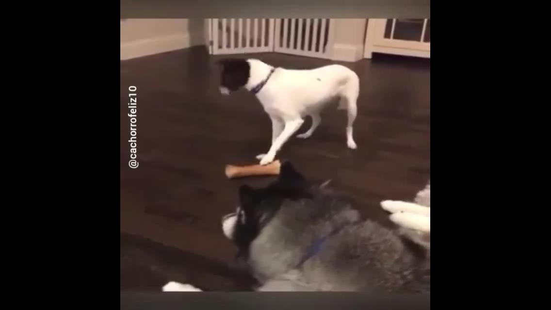 Cachorrinho roubando osso de seu irmão, olha só como ele disfarça, hahaha!