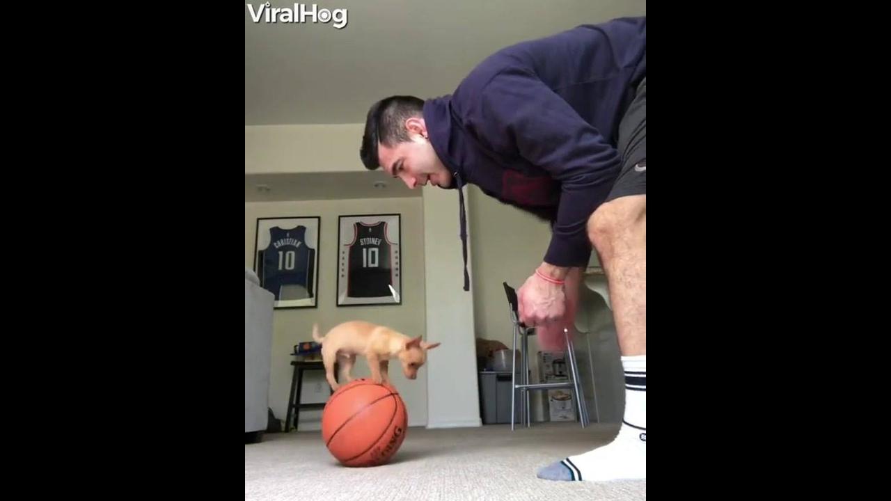 Cachorrinho sabe equilibrar em cima da bola de basquete