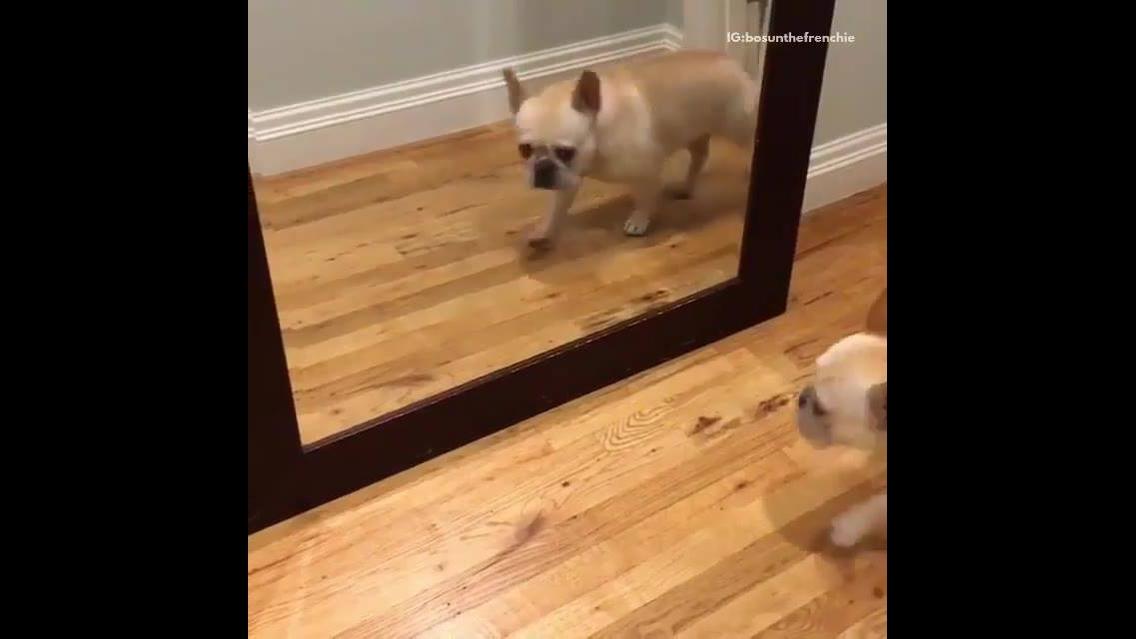 Cachorrinho se assustando com espelho, é muito engraçadinho!!!