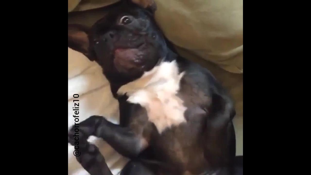 Cachorrinho se divertindo com as cocegas de seu dono